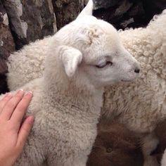 animal, sheep, and aesthetic εικόνα