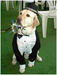 I wonder if they make a doggie tuxedo big enough for Bear