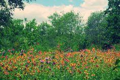 Texas Hill Country wildflower meadow in Kerrville, TX
