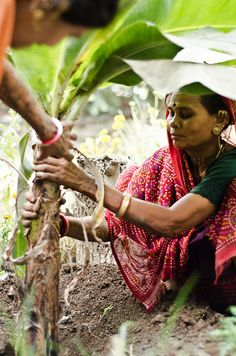 woman farmer stabilizing a banana tree, Una, Gujarat, India