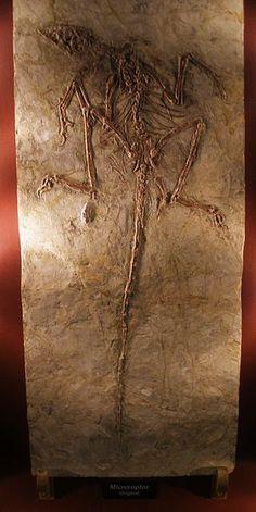Microraptor fossil specimen