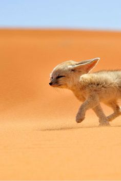 "alilnugget: "" intercepti0n: "" Fennec Fox by Francisco Mingorance "" omg baby """