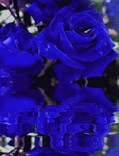 GIPHY is your top source for the best & newest GIFs & Animated Stickers online. Find everything from funny GIFs, reaction GIFs, unique GIFs and more. Beautiful Rose Flowers, Exotic Flowers, Blue Flowers, Gifs, Rosas Gif, Cabbage Roses, Glitter Graphics, Little Flowers, Blue Aesthetic