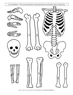 Skeletal System Model cut outs for children, kids, students learning about The Human Body #science