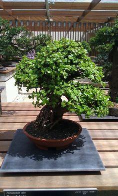 Jade as a bonsai Bonsai Pruning, Bonsai Ficus, Jade Bonsai, Bonsai Plants, Bonsai Garden, Indoor Trees, Indoor Bonsai, Indoor Garden, Indoor Plants