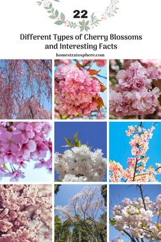 Cherry Blossom Tree Garden Backyards 51 New Ideas - Modern Cherry Blossom Tree, Blossom Trees, Blossom Flower, Types Of Cherries, Garden Plants, Tree Garden, Flowers Garden, Lush Garden, Japanese Cherry Tree