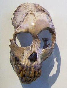 Proconsul africanus descrito a partir del primer hallazgo en 1909, el holotipo con la serie BNMH M 14084, el cual comprende un fragmento de maxilar superior izquierdo con algunos molares. Existió a principios del Mioceno entre hace aproximadamente 20 a 19 millones de años. Era un catarrino de mediano tamaño, con un tamaño comparable al de P. heseloni, pero con una dentadura ligeramente más pequeña.