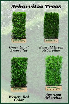 Arborvitae Landscaping, Privacy Landscaping, Front Yard Landscaping, Backyard Privacy, Green Giant Arborvitae, Arborvitae Tree, Shrubs For Privacy, Privacy Trees