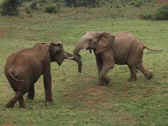 Gorah Elephants Playing, Eastern Cape Game Reserves