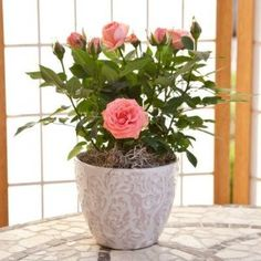 Fragrant Mini Pink Rose in Pink and White Design Container - Mother's Day Gift - Live Plant - Green Gift - Live Flowers - Ships Fast via 2-Day Express $39.99