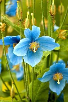 himalayan blue poppy. Gorgeous but difficult to grow in the garden.