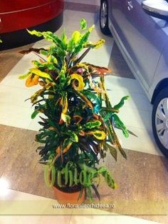 Crotone Overing - 1.5m inaltime Plant