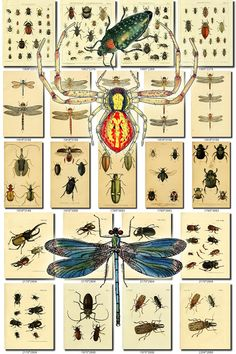 INSECTS-66 Collection of 246 vintage illustration Spider Acanthia, Acanthocerus, Achilus, Achorutes, Acinia, Acmaeodera, Aconopterus, Acrocinus, Acupalpus, Adioristus, Aeglea, Aeschna, Aeshna, Agabus, Agapanthia, Agenia, Agonum, Agrilus, Agrion, Agrypnus, Aleochara, Aleurodes, Alpheus, Alurnus, Amblygnathus, Ametrocephala, Ammalopodes, Ammophorus, Amphidora, Amphitoe, Amphoroidea, Anaballus, Anacantha, Anax, Ancistrotus, Ancylodonta, Anisomorpha, Anobiu