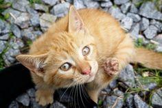 Puces : 5 astuces pour que votre chat en soit débarrassé naturellement - Astuces de grand mère