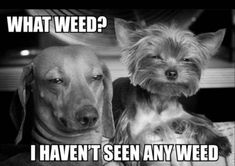 Funny pictures about I haven't seen any. Oh, and cool pics about I haven't seen any. Also, I haven't seen any. Dog Pictures, Animal Pictures, Funny Pictures, Weed Pictures, Funny Dogs, Funny Animals, Cute Animals, Silly Dogs, Funny Puppies