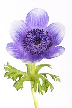 Purple Anemone.