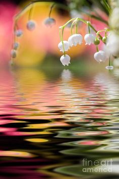 Lily of the Valley over water