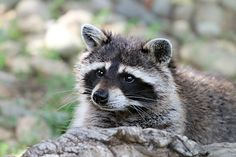 #Raccoon in a Forest - This #raccoon looks pretty peaceful, but it is not unheard of for raccoons to get incredibly vicious. Contact the professionals to remove raccoons from your property should you see some.