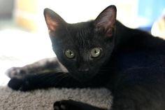 Nevada [3]  kitten