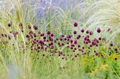 Garden Ideas, Border ideas, Perennial Planting, Perennial combination, Summer Borders, Allium sphaerocephalon, Perovskia, Russian Sage, Drumstick Allium, Stipa barbata, Feather grass