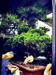 Omiya Bonsai, Aquarium, Japanese, Goldfish Bowl, Japanese Language, Aquarium Fish Tank, Aquarius, Fish Tank, String Garden