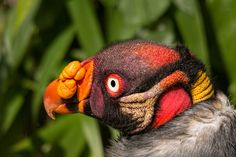 King vulture (Sarcoramphus papa) Wife had called me and asked if we could leave and I said sure and were heading their way when this caught my eye, and no wonder why. What colours! Study Help, Vulture, Raptors, My Eyes, Bible, Colours, King, London, Animals