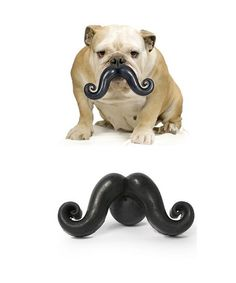 A mustache on a Boston would make a true American Gentleman...thank goodness for this toy!
