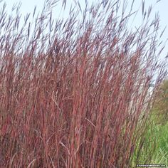 Red October is an ornamental grass variety with attractive foliage which changes color seasonally.  Foliage that begins as gray to blue green in spring, deeper green in the summer and brilliant scarlet red fall color. Ornamental grasses add winter interest, are deer resistant and drought tolerant. (Andropogon gerardii)