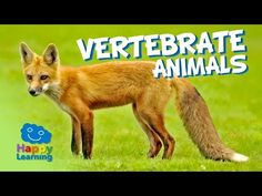 Vertebrate Animals   Educational Video for Kids - YouTube; great intro to vertebrate animals, but doesn't talk about the specific grps (C1; W6)