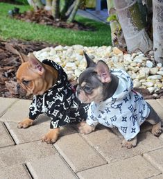 The major breeds of bulldogs are English bulldog, American bulldog, and French bulldog. The bulldog has a broad shoulder which matches with the head. Lilac French Bulldog, Blue French Bulldog Puppies, Bulldog Puppies For Sale, Boxer Puppies, Cute Puppies, French Bulldogs, Best Guard Dogs, Hipster Dog, Dog Facts