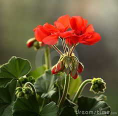Pelargonium - Download From Over 50 Million High Quality Stock Photos, Images, Vectors. Sign up for FREE today. Image: 19207694