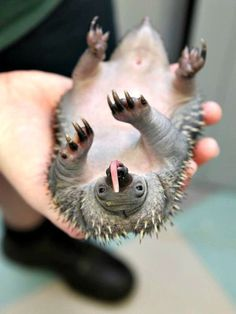 BABY ECHIDNA.  Echidnas are one of only two mammals to lay eggs and are named after a monster in Greek mythology.  They can live to up to 50 years.