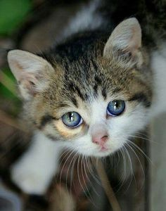 big eyed kitten blue eyes round lil face
