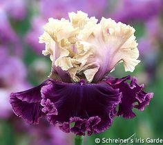 TB Iris germanica 'But Darling' (Schreiner, 2016)