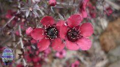 Leptospermum scorparium