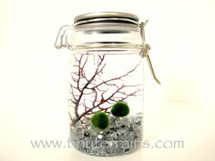 Marimo Moss Ball Stainless Steel Jar Aquarium / Terrarium: Choice of Several Different Colors