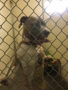 West Haven Animal Shelter added 2 new photos. September 17 ·  **REUNITED WITH OWNER** ***FOUND DOG***  Found roaming on Gilbert St, Small Female Brindle. Striped red/pink collar, no tags or chip. If anyone has any information regarding this little girl please contact the shelter at 203-937-3642