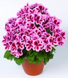 Google Image Result for http://expert.geraniumsuk.com/wp-content/uploads/2012/08/Geranium-Candy-Flowers-Strawberry-Cream-201011-300x341.jpg