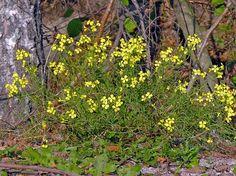Ackerrettich, Raphanus raphanistrum - Blütenpflanzen - NatureGate