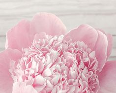 Pink Peony Flower Photograph, Fine Art Photography Large Sizes Available on Etsy, £9.67