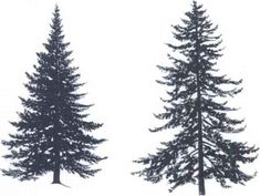 Spruce Tree Silhouette