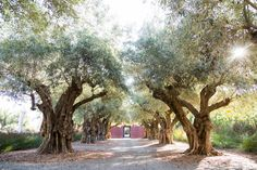 The McQuowns bought 43 130-year-old Sevillano olive trees that were about to be razed. After the Sevillanos were dug up by hand, 22 tractor-trailers hauled them nearly 300 miles to the McQuown property.