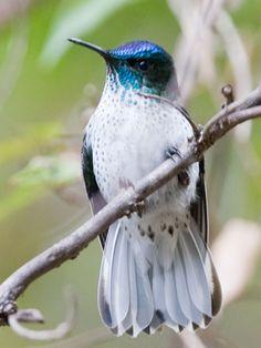 Female Juan Fernandez Firecrown hummingbird, Robinson Crusoe Island, Chile (She looks nothing like the male) Kinds Of Birds, All Birds, Little Birds, Love Birds, Pretty Birds, Beautiful Birds, Animals Beautiful, Cute Animals, Exotic Birds