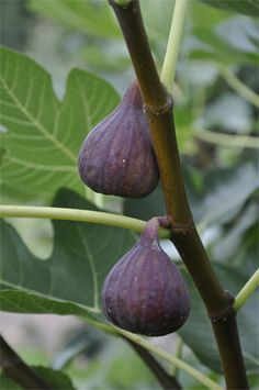 Brown Turkey Fig Does well in large pots and fruits well in Northern areas such as Long Island, N.Y. Very good against walls in Northern areas. Brown fruit with amber flesh