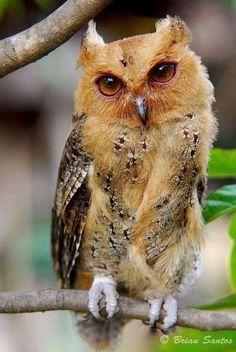 Coisas de Terê→ Philippine Scops Owl - Foto Brian Santos
