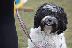 Daisy - Tibetan Terrier - at the Dog Barn   by Ian McFegan