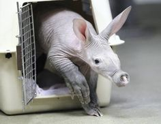 The baby aardvark born on January 12 emerges from it's carrying cage to explore its surroundings.