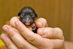 Newborn Rottweiler puppy - puppies photo