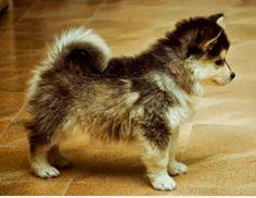 Pomiriaan /husky blijft zo klein. Ooit komt er zo 1. ( hoop ik )