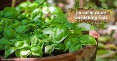 Basil is one of the most important herbs due to its versatility in the kitchen, but it's also an ancient plant used in Ayurvedic Indian medicine. http://articles.mercola.com/sites/articles/archive/2017/06/23/growing-basil.aspx